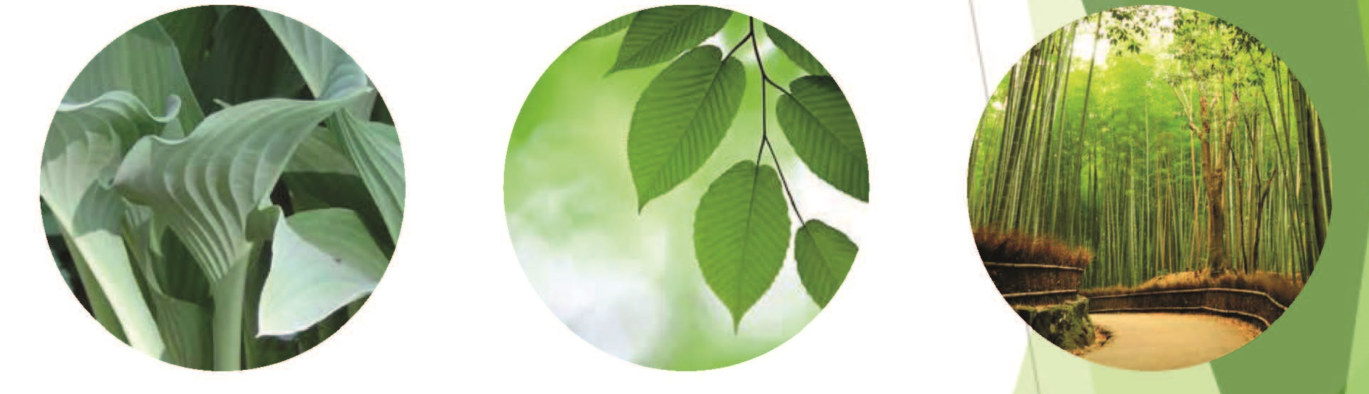 Kanope-bladeren